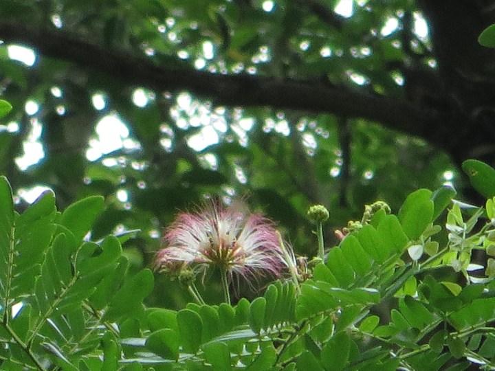 モンキーポッド 少なくなった樹上の花