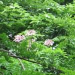 ジャワセンナ 花の咲いている様子