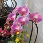 コチョウラン 薄紫色の花