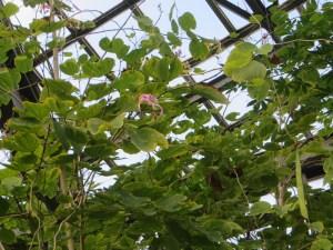 ムラサキソシンカ 花の咲いている様子