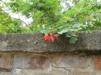 Caesalpinia/ ジャケツイバラ属の花の1種?