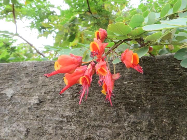 Caesalpinia/ ジャケツイバラ属の花の1種?のアップ