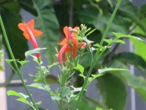 ヒメノウゼンカズラ 花の様子