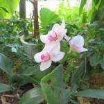 コチョウラン 薄いピンクの花