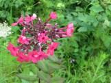 クリンソウ 花の姿