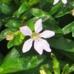 メキシコハコヤナギ (Dwarf) 花のアップ
