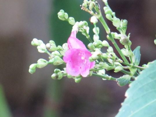 ストロビランテス・ハミルトニアナ 花のアップ