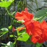 ハイビスカス 花のアップ