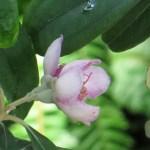 テンニンカ 花の横顔