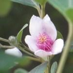 テンニンカ 花のアップ
