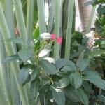 ホコバテイキンザクラ 花の姿