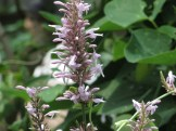 オドントネマ カリスタキウム 花の姿