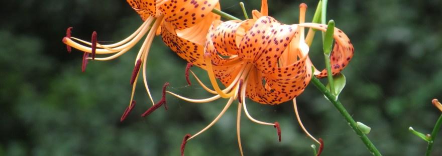 オニユリ 花のアップ