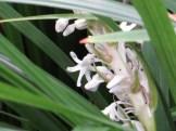 ノシラン 花のアップ