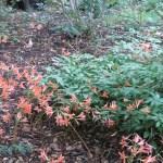 キツネノカミソリ 群れて咲く花の姿