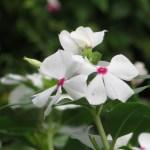 ニチニチソウ 花のアップ