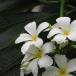 Plumeria spp./プルメリア