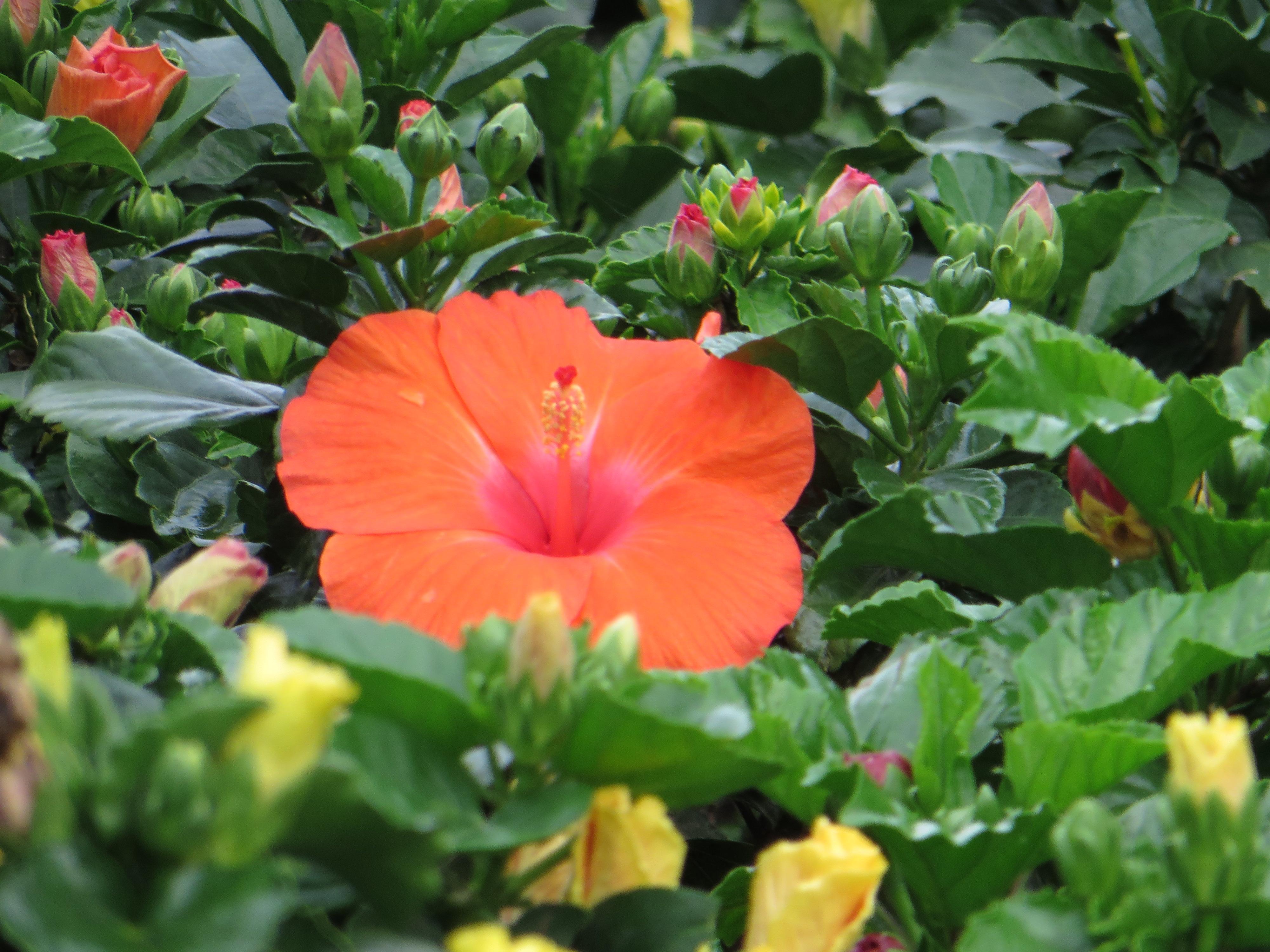 ハイビスカス 典型的な花の様子