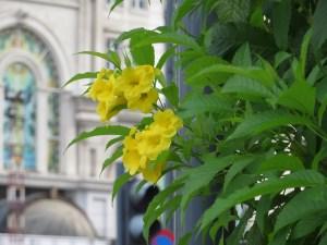キンレイジュ 花の様子