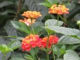 ランタナ 花のアップ