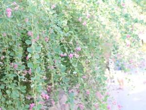 ハギ(ツクシハギ?) 花の咲いている様子