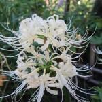 ヒガンバナ 白花のアップ