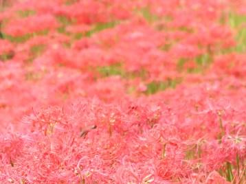 ヒガンバナ 赤い花の絨毯