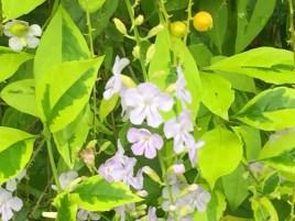 タイワンレンギョウ  薄めの紫の花の姿