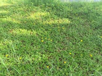 アメリカハマグルマ 花の咲いている様子