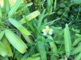コトブキギク 花の様子