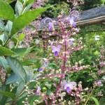 Blue Fountain Bush/ クレロデンドルム・セラツム