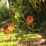 グロリオサ 花の様子