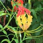 グロリオサ 花のアップ