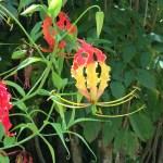 Gloriosa lily/ グロリオサ