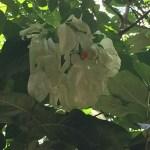 ムッサエンダ・フィリピカ 白い花