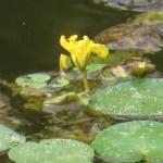 アサザ 花の様子(咲き始め)