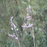 ミズカンナ 花の様子