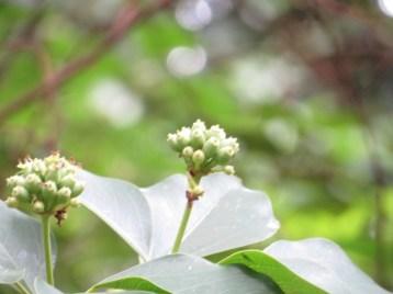カクレミノ 花(つぼみ)の姿
