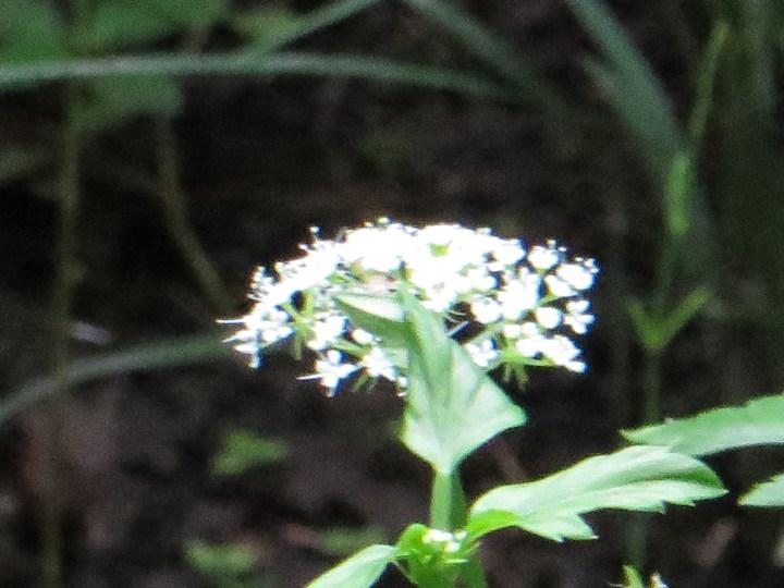 セリ 花の様子(アップ)