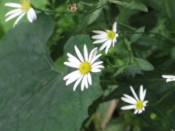 Double Japanese Aster / ユウガギク