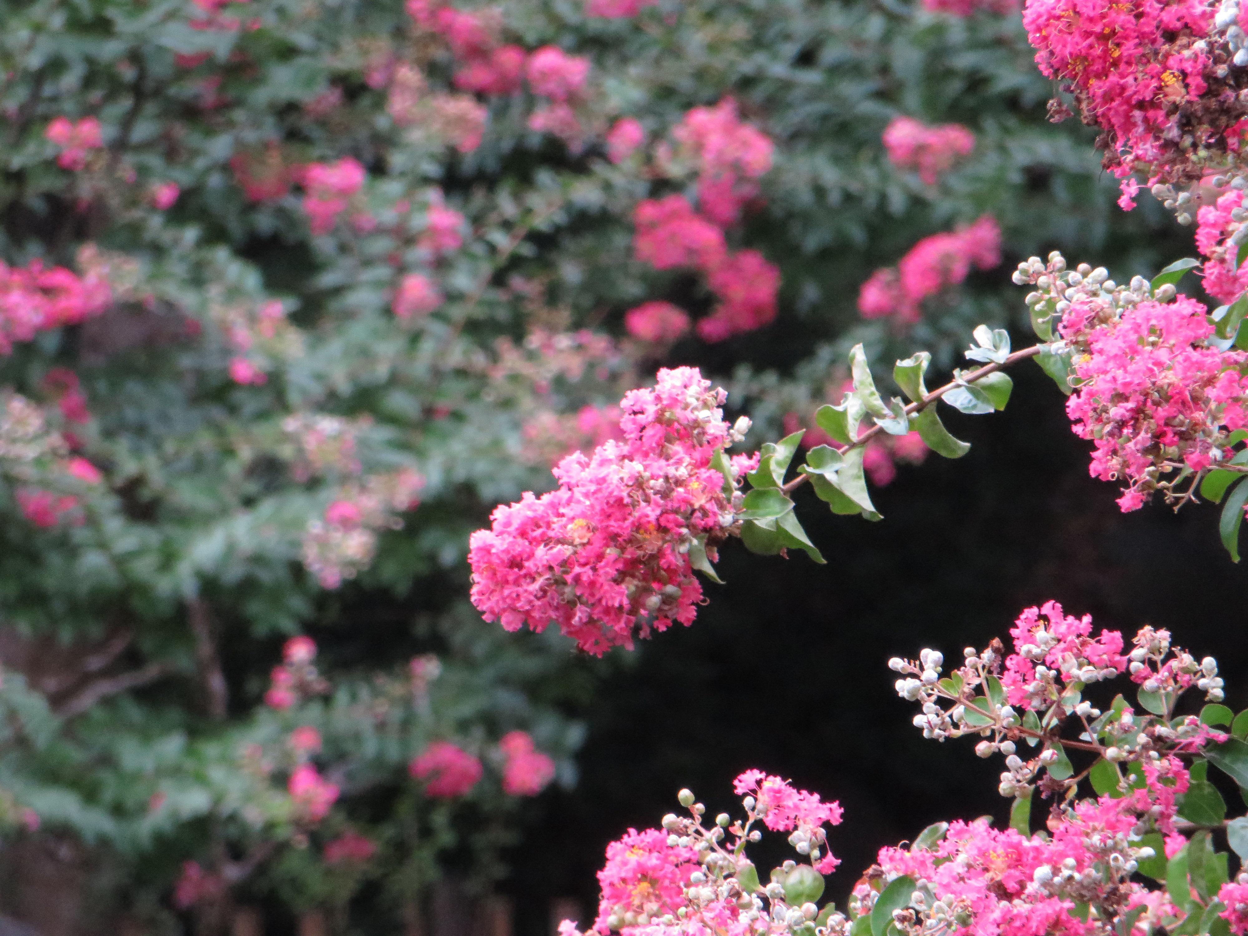 サルスベリ 花の様子