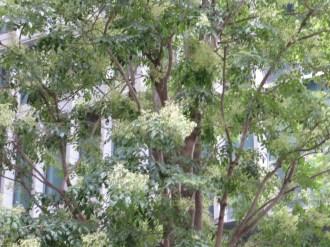 シマトネリコ 花の咲いている木の様子