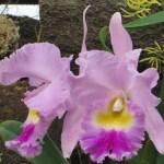 カトレア 花のアップ