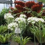 オルニソガラム 花の咲いている植物の様子