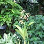 エピデンドラム Epi brassavolae 花の姿