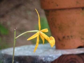 ブラソレリア Brassolaelia Richard Muller 花の横顔