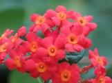 ベニマツリ 花のアップ
