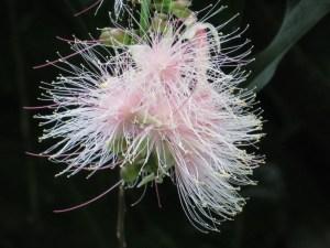 サガリバナ 花のアップ