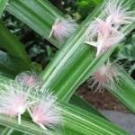 サガリバナ 落ちた花