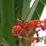 Clerodendrum japonicum/ ヒギリ